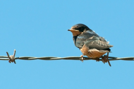 little-barn-swallow
